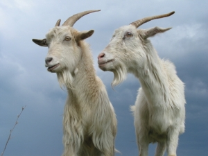 two-goats