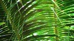sukkot palm